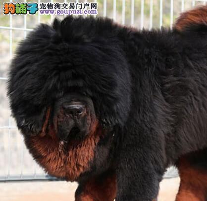 大型獒园热卖高品质杭州藏獒 质量保证包售后