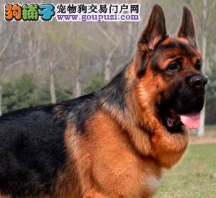 杭州家养赛级德国牧羊犬转让可见狗狗父母签协议