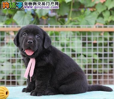 热销拉布拉多幼犬,纯度第一价位最低,质保全国送货