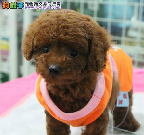 贵族纯正贵宾犬 国际血统品质保障 签协议可送货