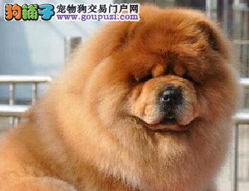 出售极品吐鲁番松狮犬质量保证血缘清楚