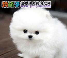 低价出售纯种哈多利版博美犬 南昌地区有实体店请放心