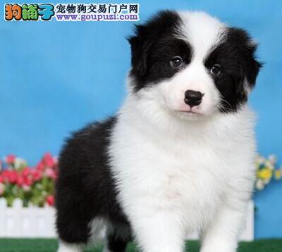 西安实体店出售精品边境牧羊犬保健康欢迎您的指导