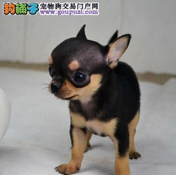 家养黄白花吉娃娃幼犬,苹果头大眼睛!100纯种保证