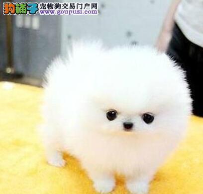 哈多利球形血系的博美犬转让中 兰州市内可免费送货哦