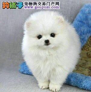 想要狗狗 欢迎点击 点击有礼物 哈多利球形博美狗狗