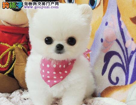 转让哈多利版博美犬 郑州附近城市建议上门购买