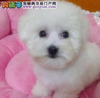 出售卷毛成都比熊犬 公母都有喜欢狗狗可上门挑选购买