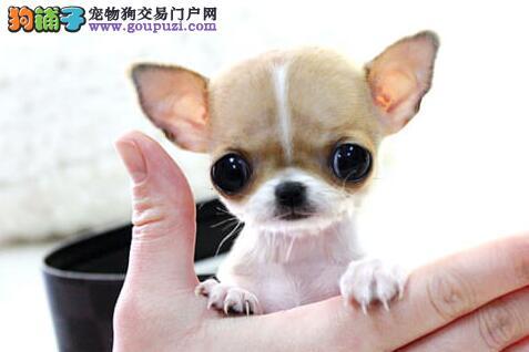 热销可爱苹果头广州吉娃娃 可刷卡可送货赠送狗笼子