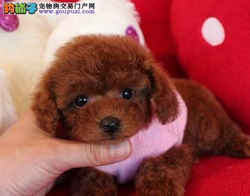 长沙自家繁殖的纯种泰迪犬找主人签订终身纯种健康协议