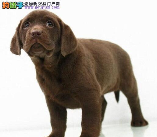 杭州狗场热销纯种健康的拉布拉多犬 可视频看狗选购