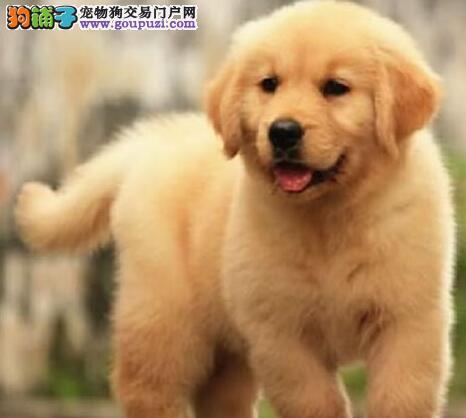 健康可爱金毛犬犬舍直销 上海正规犬舍繁殖价格优惠