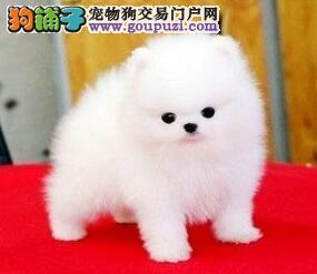 广州博美犬价格 广州哪里有卖博美狗买卖广州纯种博美