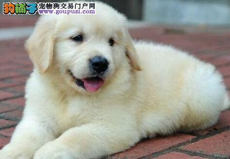转染健康纯种大骨架金毛犬 重庆市内可免费送狗到家