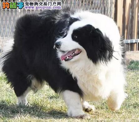 纯种赛级边境牧羊犬、CKU品质绝对保证、寻找它的主人