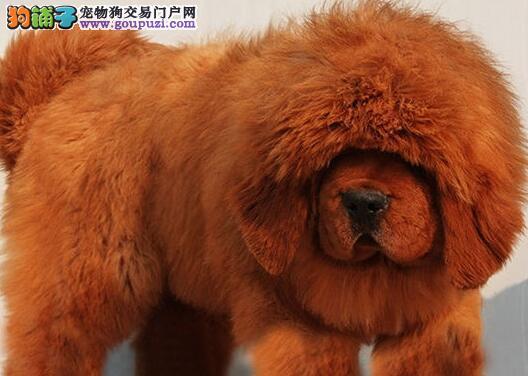 养高品质长毛藏獒专业繁殖,精品大狮头骨量大藏獒