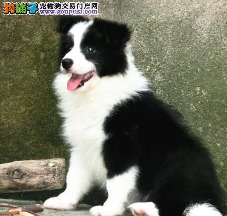 广东边境牧羊犬俱乐部边牧的价格边牧的照片