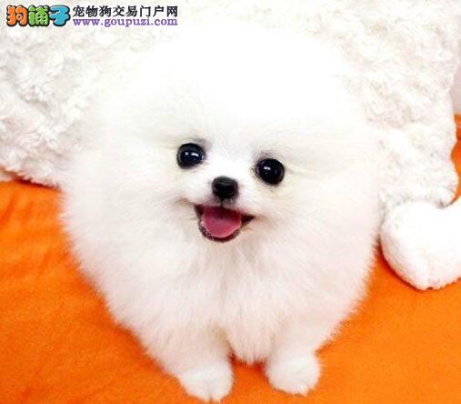哈多利球形血系的洛阳博美犬找新家 爱狗人士优先选购