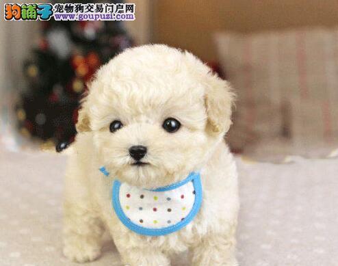 纯种贵宾犬宝宝天津地区找主人最优秀的售后