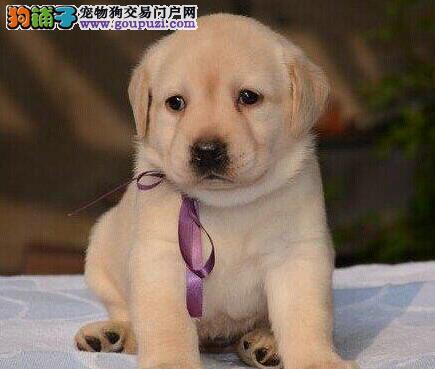 转让赛级品质大头版的洛阳拉布拉多犬 放心选购爱犬