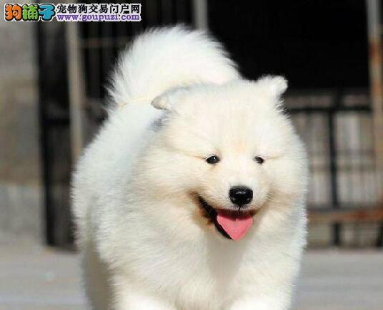 低价出售纯种微笑天使萨摩耶 北京市内可免费送到家
