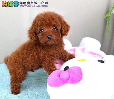 多种颜色的赛级泰迪犬幼犬寻找主人国际血统证书