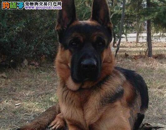 黑背弓腰骨骼健硕的德国牧羊犬热卖中 洛阳市内可送货