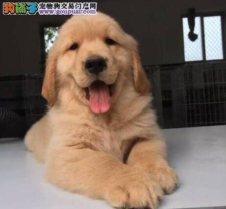 大骨架纯种金毛犬上海犬舍特价直销 可签订售后协议
