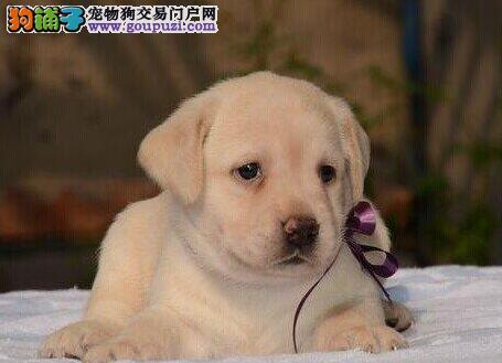 邢台正规狗场犬舍直销拉布拉多幼犬三针疫苗齐全