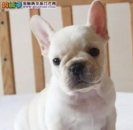 精品法国斗牛犬幼犬一对一视频服务买着放心市内免费送货