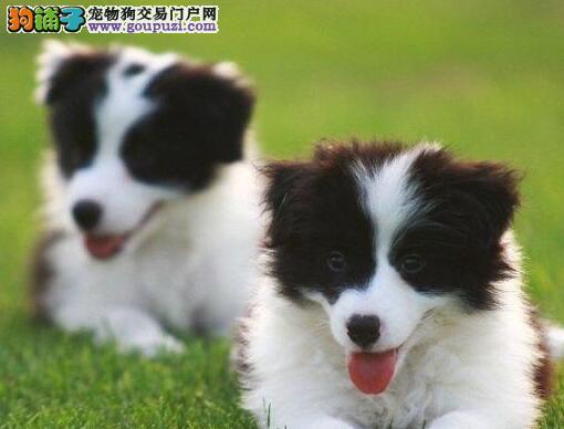 转让精品湛江边境牧羊犬疫苗齐全品相完美签协议