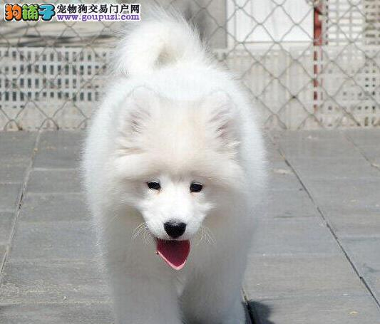 出售公母均有的太原萨摩耶幼犬 签署正规购犬合同
