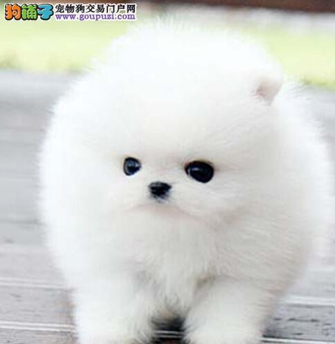 超大毛量超小体的海口博美犬出售中 多只供选购