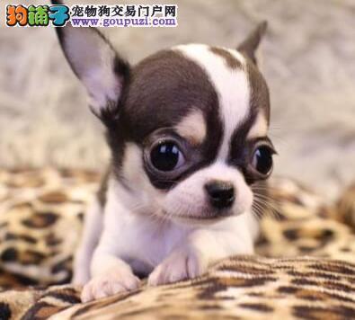 权威机构认证犬舍 专业培育吉娃娃幼犬真实照片包纯