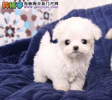 促销价出售正宗韩系武汉贵宾犬 可办理血统证书品质高
