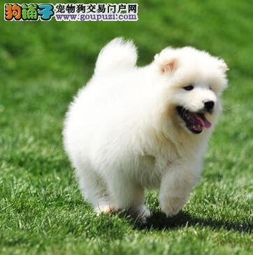 出售澳版萨摩幼犬,骨量、毛量、品相全到位 签协议