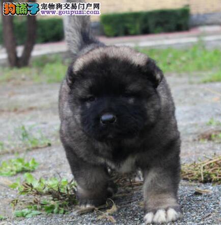 青岛大型狗场直销高品质高加索犬已注射疫苗可送货