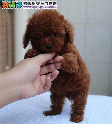 郑州本地狗场特价出售韩系泰迪犬 血统纯正有质保证书