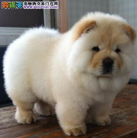 出售正宗美系长沙松狮犬多种颜色好品相包售后