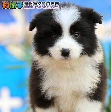纯种优质重庆边境牧羊犬特价出售 全国免费空运
