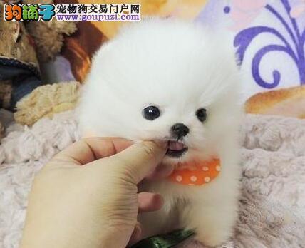 南京狗场出售多种颜色的博美犬 免费送货上门选购爱犬