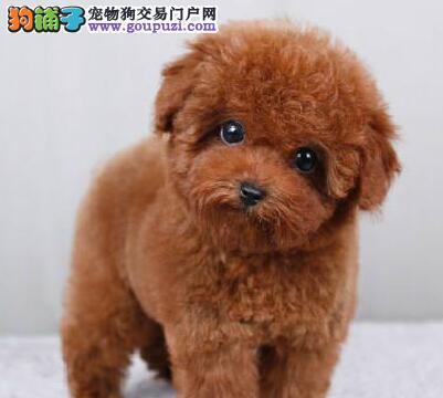 CKU犬舍认证忻州出售纯种泰迪犬当日付款包邮