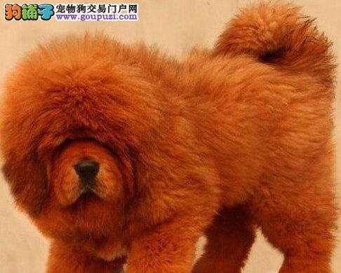 出售聪明伶俐藏獒品相极佳微信视频看狗