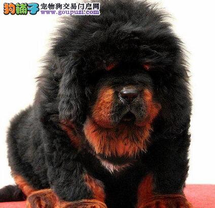 极品纯种原生态藏獒乌鲁木齐狗场直销 购买可享受优惠