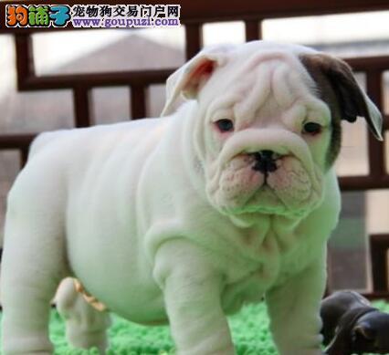 成都正规犬舍急售优质斗牛犬 所有狗狗均注射防疫疫苗