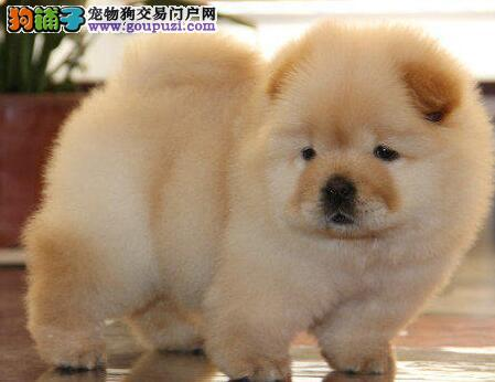美系松狮宝宝松狮幼犬