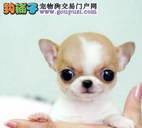 特价出售超小体温州吉娃娃金鱼眼苹果头超可爱