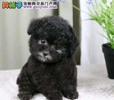 国际注册犬舍 出售极品赛级泰迪犬幼犬欢迎您的光临
