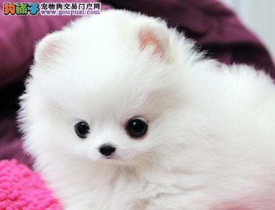 大连基地繁殖超小型可爱活泼的博美有幼犬 小体袖珍犬