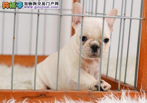 泉州狗场特价优惠出售螺旋尾巴的斗牛犬 终身售后服务